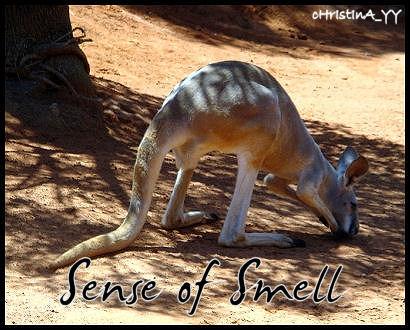 Kangaroo: Sense of Smell