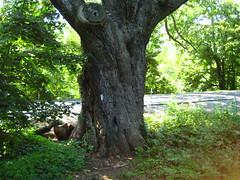Dover Oak (MrWiffle) Tags: camping newyork hiking backpacking appalachiantrail hugetree at doveroak
