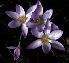 Springtime ... (Bessula) Tags: flower macro beauty night garden spring searchthebest natur crocus naturesfinest fpc mywinners ultimateshot bessula flowerwatcher thegoldenmermaid macromarvels iamflickr mimamorflowers