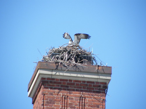 Osprey in Nest - April 2008
