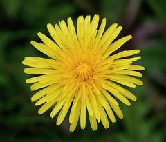 wish you all a sunny weekend : ) (a.rud.beth) Tags: flower macro weed dandelion löwenzahn mywinners cmwdyellow flickrlovers