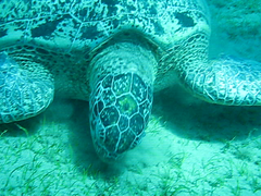 Mer rouge 14 (ollografik) Tags: blue fish video turtle redsea diving seaturtle tortue plonge poissons bleue marsaalam merrouge powershota640