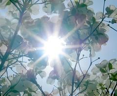 Shining Through the Dogwood (Stanley Zimny (Thank You for 16 Million views)) Tags: flowers light sky sun star sunburst dogwood sunstar