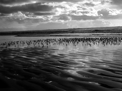 Shorebirds in Ocean Shores (jc.winkler) Tags: washington oceanshores