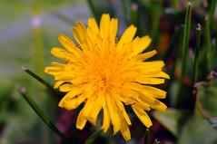 Dandelion (josephcrivello) Tags: flower macro green digital outside outdoors spring highresolution nikon colorful dandelion d300
