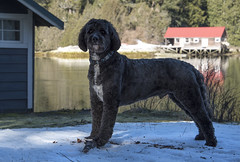 oyster shack farley (tesseract33) Tags: tesseract33 light world art peterlangphotographynet peterlang squamishphotographers nikond750 oysterbay dog dogs goldendoodle farley retriever penderharbour mansbestfriend