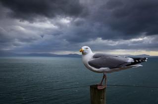 Atlantic gull