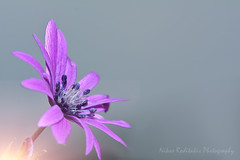 Anemone hortensis Ranunculaceae (Nikos Roditakis) Tags: anemone hortensis ranunculaceae cretan wild plants anemones greek european nikos roditakis nikon d5200 macro tamron af sp 90mm f28 di vc usd flowers natural