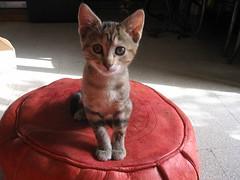 la piccola mim (terevinci) Tags: italy cats rome roma animals cat canon kitten kitty felino gatto gatti animali animale felis carnivoro cuccioli gattini animaledomestico canon570 animalesacro