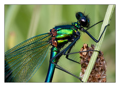 Banded demoiselle (Mister Oy) Tags: pictures uk greatbritain england macro insect photo image picture photograph bryn wigan davegreen odonata bandeddemoiselle sigma150mmf28macro nikond700 aphotoof oyphotos