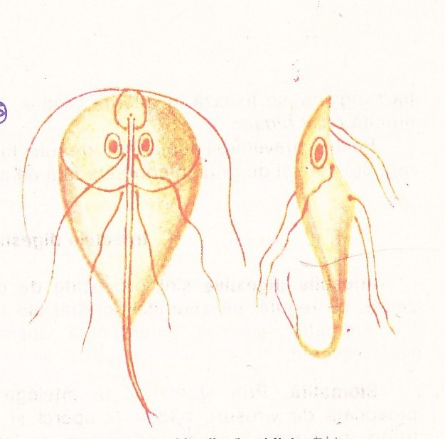 Giardia Intestinalis