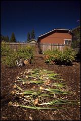 Harvested Onions (and some garlic) (Nativeagle) Tags: garden nikon d70 native harvest onions garlic navajo nativeagle polarizer circular moosefilter