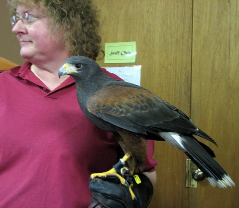 Harris hawk on the glove of the trainer WBS