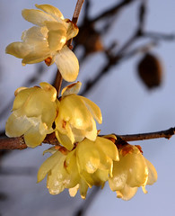 Winter Sweet (autan) Tags: china japan form chimonanthus wintersweet naturesfinest concolor  praecox abigfave platinumphoto diamondclassphotographer flickrdiamond theunforgettablepictures dsc9046080126d70150b