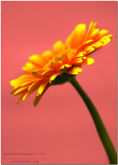 A Flower for Mother's Day (Paul Iddon) Tags: pink orange flower macro yellow closeup gerbera mothersday sigma105 iddon artofnature aplusphoto wowiekazowie riotofcolours excapture themacrogroup macromarvels macroflowerlovers