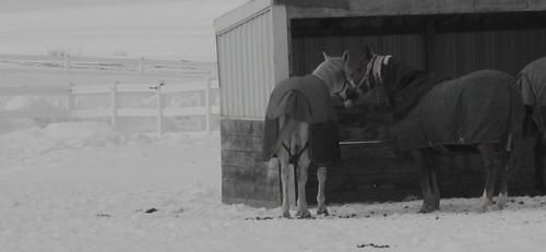 horses in coats