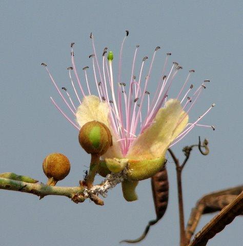 wildflower at srirangapatna 220208