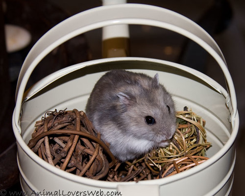 Dwarf Hamster Flufarella Looking Like a Syrian by AnimalLoversWeb.