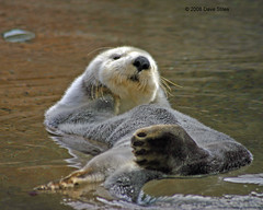 Sea Otter - Puget Sound (Dave Stiles) Tags: seaotter theunforgettablepictures natureoutpost tup2
