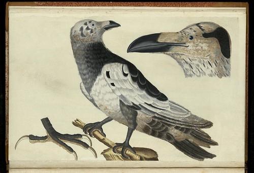 'Den Hvide Feröiske Ravn. Vorvus variegatus Faeröensis' by Peder Ascanius - 1767 - Icones rerum naturalium