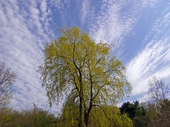 Weeping Willow And Sky (star_cosmos_bleu) Tags: trees sky spring mywinner anawesomeshot diamondclassphotographer