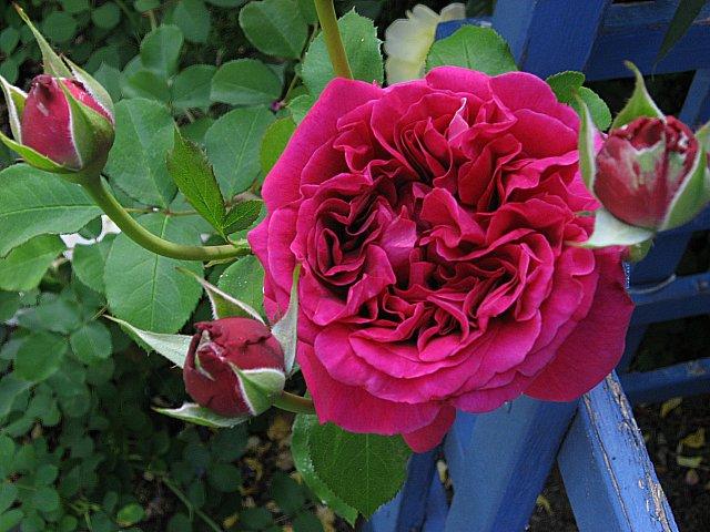 roses may 11 005
