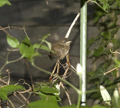 Gerade flügge / Just fledged (schreibtnix on 'n off) Tags: nature birds animals closeup tiere natur wren vögel nahaufnahme naturesfinest zaunkönig troglodytestroglodytes olympuse3