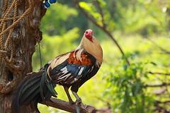 The Cock (bibs_reyes4) Tags: texas cock rooster cavite gallus manok sabong imus