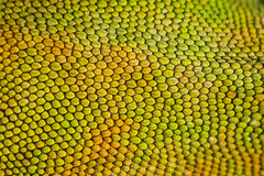 Anole Scales (ashercurri) Tags: anole lizard reptile herp herping herpetology scale scales snake closeup close up macro green skin lizzy animal nature detail sony nex nex7