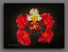 FLOR  DE  FLAMBOYAN. (manxelalvarez) Tags: flamboyan flordeflamboyan florestropicales floresrojas