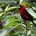 Masked Crimson Tanager, Ramphocelus nigrogularis