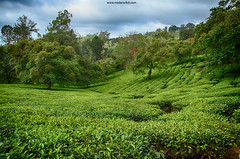 Tea Estate at Valparai (madangc) Tags: teaplants teaestate valparai
