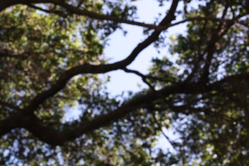 {oak} above