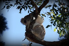 Freerange Koala (End of Level Boss) Tags: park sydney australian icon koala nsw lou aussie marsupial sanctuary picnik 2010  coala    koaala     koal      hayopngkoala  gingaithucchu