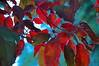 Red leaves against blue (Dawn Woodhouse) Tags: park trees red rot leaves season rouge movement rojo nikon wind rood rosso ahmar wow1 wow2 kokino crven dawnwoodhouse