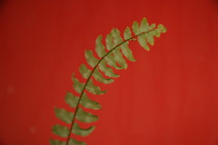 fern (ludwig van standard lamp) Tags: fern colour minimal creativecommons colourartaward