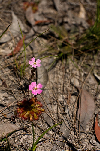Drosera in flower