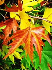 Why we get autumn colours... (Capture a Moment) Tags: autumn fall leaves leaf maple colours westonbirt autumncolour mywinners impressedbeauty