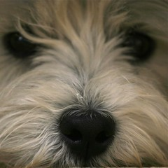 Wee Westie's Sweet Black Nose (Randy Son Of Robert) Tags: dog pet white cute closeup 510fav nose westie canine explore terrier stare westhighlandwhiteterrier yoshi doggie weewestie