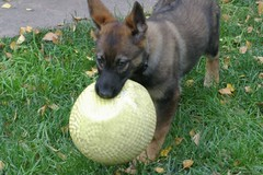 Ballgirl (cwgoodroe) Tags: dog color cute fall face tongue closeup ball puppy fur toy spring furry play fuzzy shepherd watching guard ears canine running run german cuddle stick chew gnaw attention playful ran trot shephard guarding k9 germanshephard observant gsd cutepuppy alet sephard germanshepherdeyes