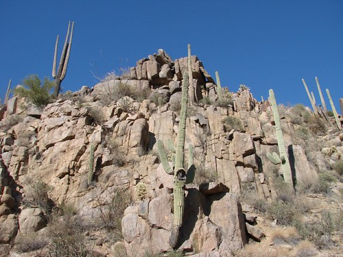 Saguaro Cactus growing out of the rocks