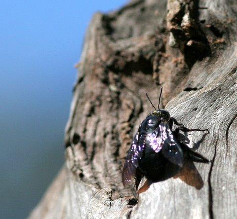 carpenter bee nandi hills 251107