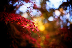 rustlings (moaan) Tags: life leica autumn light red leaves yellow 50mm maple dof shine wind bokeh f10 momiji japanesemaple kobe rokko noctilux tinted blight mapleleaves leicam7 2007 blown autumnalleaves m7 rvp fujivelvia tinged rustle explored fujirvp inlife leicanoctilux50mmf10 bokehwhores gettyimagesjapanq1 gettyimagesjapanq2