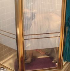 xintheshower2 (muslovedogs) Tags: dogs shower mastiff excalibur