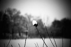 To Bear is to Conquer (Accretion Point) Tags: trees winter blackandwhite bw snow plant ice wet field twigs vignette snowcovered