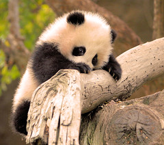 Little Zhen Zhen is a very determined little panda climber! (kjdrill) Tags: china california bear friends usa baby animal giant zoo cub friend panda sandiego bears zhen explore climbing fv10 zoomzoom frontpage pandas endangeredspecies babyanimal parkstock instantfave 8635 zhenzhen mywinners anawesomeshot superbmasterpiece fcawinner goldstaraward 800faves trueessence zhennie highqualityanimals