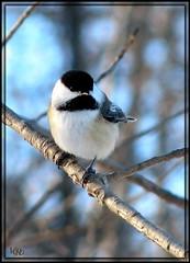 Ma Msange (-VRo-) Tags: bird birds animal oiseau oiseaux plumes pointeauxprairies pitpit photoqubec lysdor animauxqc