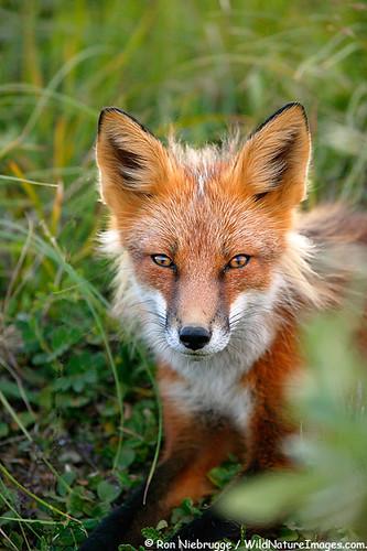 Fox Symbolism: A Symbolic Interpretation - symbolic meanings