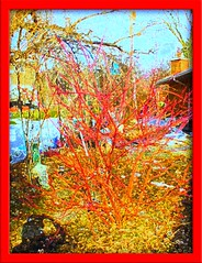 RED, DOGWOOD  BUSH (Lynn English-slow computer) Tags: winter snow cold color colour art nature this is big shot magic awesome think an fave awards the a i abigfave anawesomeshot coloursplosion