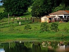 Wall street - Piracicaba (TLMELO) Tags: brazil brasil rural cow cattle searchthebest farm tiago paulo são soe thiago vaca fazenda boi melo riodaspedras piracicaba gado anawesomeshot impressedbeauty aplusphoto platinumheartaward tlmelo